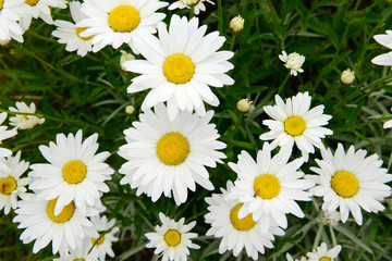 Zelfklevend Fotobehang Madeliefjes White flower Marguerites flowering in the nature