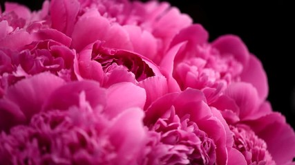 Fotoväggar - Beautiful pink peony flowers opening. Blooming bouquet of peonies opening closeup over black. Timelapse 4K UHD video footage. 3840X2160