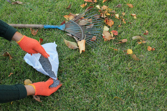 The gardener holds a granular fertilizer in his hands next to a fan rake and autumn leaves against a lawn background.