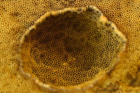 Depression of spores on edible boletus.