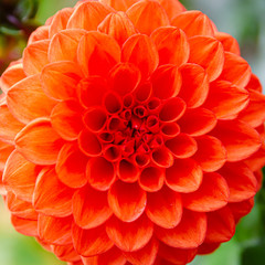 Cadres-photo bureau Dahlia Beautiful lush dahlia flower in the garden