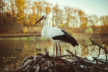 stork in autumn