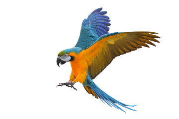 Colorful flying parrot isolated on white, Freedom concept