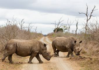 The black rhinoceros or hook-lipped rhino (Diceros bicornis) in habitat. Endangered animals of South Africa.
