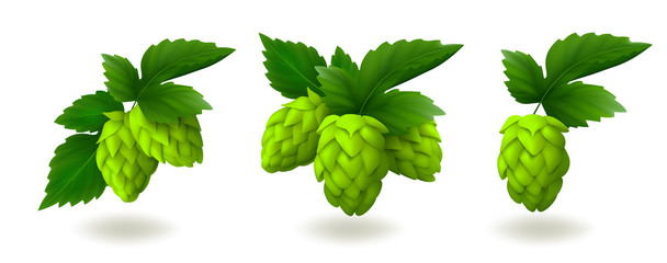 Bunches of green hop cones with leaves isolated on white background. Realistic vector illustration