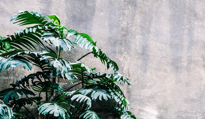 Wall Mural -  Philodendron in the garden Tropical leaves background