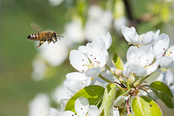 bee on cherry flower with pollen in springtime