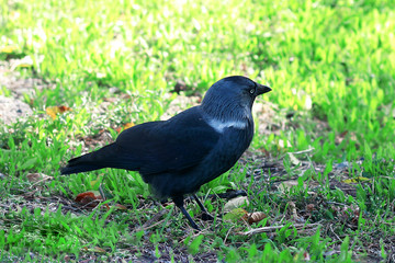 black rook on the background of green and yellow grass in search of food