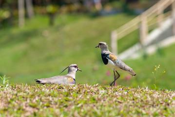 Casal de quero quero cuidando do ninho. Tambén chamado de Vanellus chilensis, tero, tero-tero, abibe-do-sul, tetéu, teréu-teréu, terém-terém ou lapwing