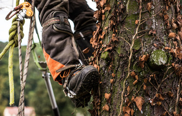 Midsection of legs of arborist man with harness cutting a tree, climbing.