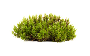 green moss sphagnum closeup isolated