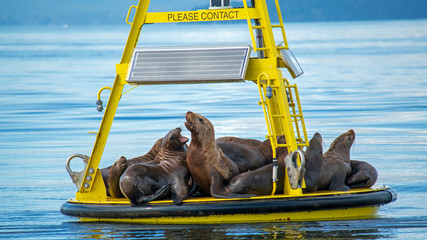Seelöwen vor Vancouver Island