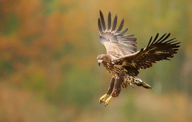 Photo sur Plexiglas Aigle White tailed eagle (Haliaeetus albicilla) in autumn scenery