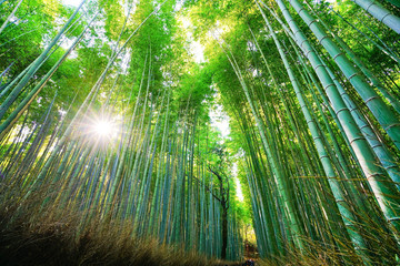 Foto auf AluDibond Bambusse View of the bamboo forest at Mount Arashi in Kyoto, Japan.