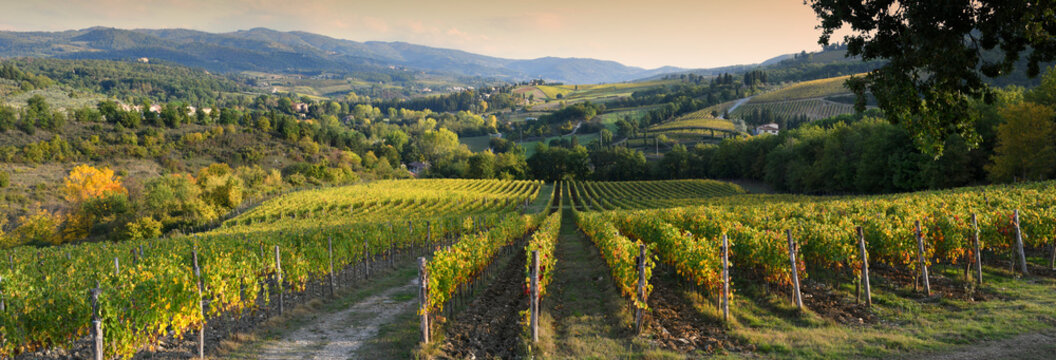 Beautiful vineyard in Chianti region near Greve in Chianti (Florence) at sunset with the colors of autumn. Italy.
