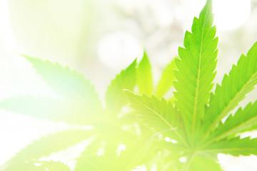 Marijuana flower Indoors growing. Home Grow legal Recreational hemp. Planting cannabis. Cannabis business. Northern light strain. Marijuana grow operation.