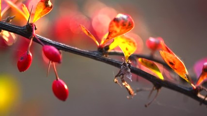 Fotoväggar - Autumn Burberry colorful plant with red berries. Gardening, garden design. Beautiful plant closeup. Landscaping. Slow motion 4K UHD video