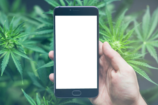 Smartphone with white screen for mock up , chromakey against the background of cannabis flowers, concept of online store of herbs of medical marijuana With light tinted