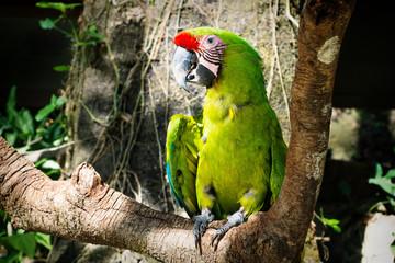 Detail of a green macaw parrot on a stick in Macaw Mountain Bird Park, Copan Ruinas, Honduras