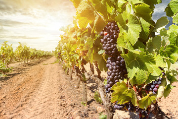 Wall Murals Vineyard Sunset over vineyards with red wine grapes near a winery in late summer