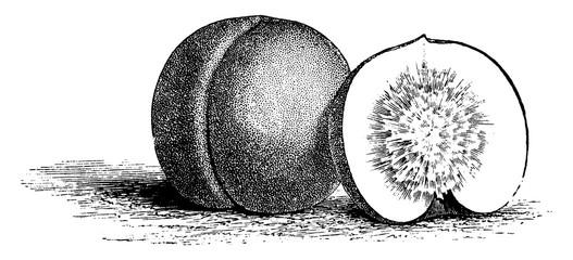 Clingstone Nectarine vintage illustration.