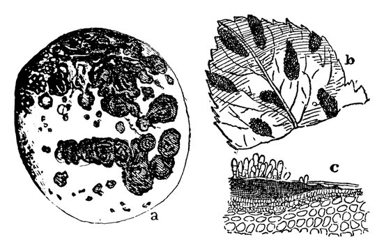 Scab Fungus vintage illustration.