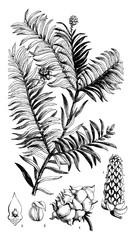 Wall Murals Botanical Prince Albert's Yew vintage illustration.