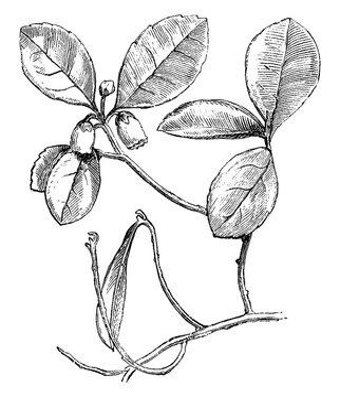 Flowering Branch of Gaultheria Procumbens (Creeping Wintergreen) vintage illustration.