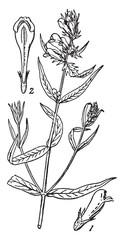 Cow-wheat vintage illustration.
