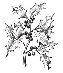 Holly vintage illustration.