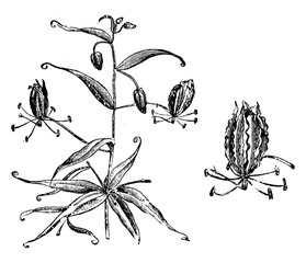 Flowering Branch and Single Flower of Gloriosa Superba vintage illustration.