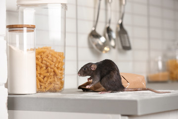 Rat near gnawed bag of flour on kitchen counter. Household pest
