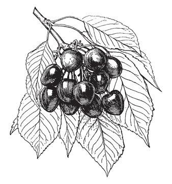 Napoleon Cherry vintage illustration.