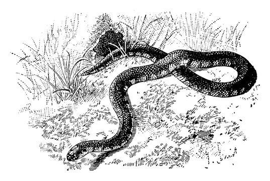 Mud Snake Slithering through Grass, vintage illustration.