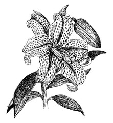 Inflorescence of Golden Rayed Lily of Japan vintage illustration.
