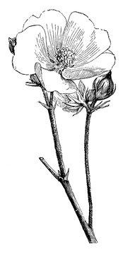 Althea Officinalis Flower and Buds vintage illustration.