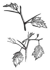 Thorns of Crataegus vintage illustration.