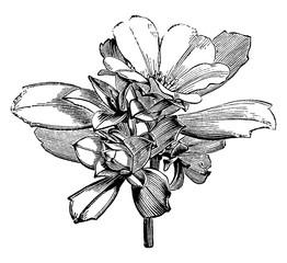 Flowers and Buds of Candollea Cuneiformis vintage illustration.