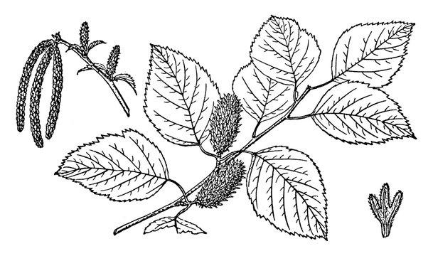 Branch of River Birch vintage illustration.