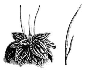 Habit and Detached Inflorescence of Peperomia Marmorata vintage illustration.