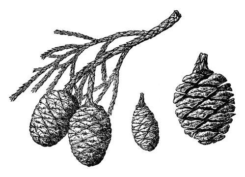 Sequoia Gigantea vintage illustration.