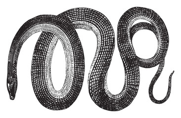 Glass snake, vintage illustration. Wall mural