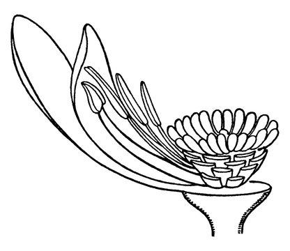 White Waterlily vintage illustration.