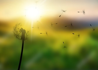 Foto op Canvas Paardenbloem Close up of grown dandelion and dandelion seeds isolated on background