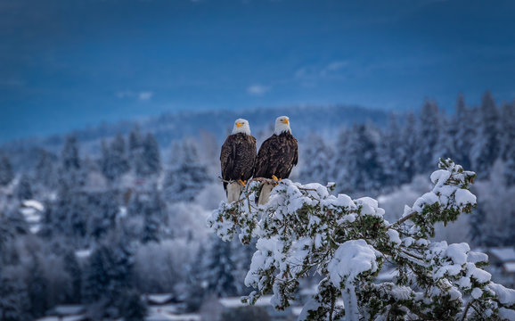 2 bald eagles in love during winter