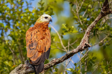 Black-collared Hawk perched on a tree branch against green background, Pantanal Wetlands, Mato Grosso, Brazil
