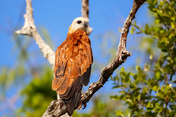 Black-collared Hawk perched on a tree branch against blue sky, Pantanal Wetlands, Mato Grosso, Brazil