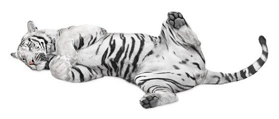 Wall Mural - Cute white tiger laying on its back