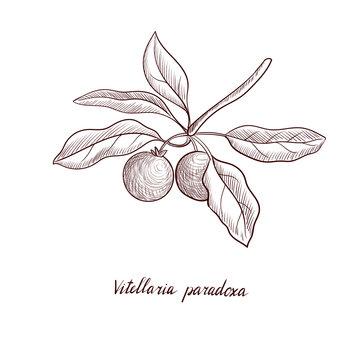 vector drawing shea tree