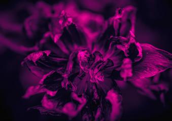 Dry tulips petals